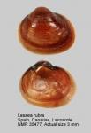 Lasaea rubra