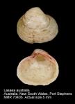 Lasaea australis