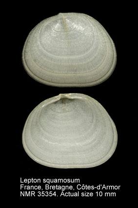 Lepton squamosum