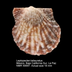 Leptopecten latiauratus