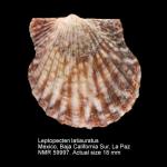 Leptopecten latiauratus