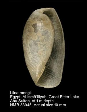 Liloa mongii