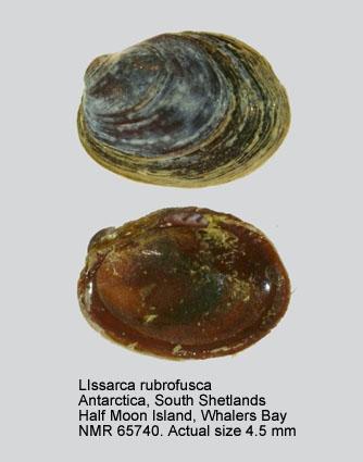 Lissarca rubrofusca