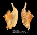 Lobatus gallus