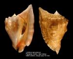 Lobatus peruvianus