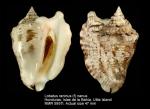 Lobatus raninus