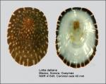 Lottia dalliana