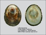 Lottiidae