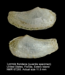 Lyonsia floridana