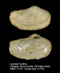 Lyonsia hyalina