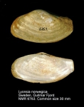 Lyonsia norwegica