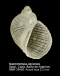 Macromphalus abylensis