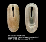 Macroschisma africanum