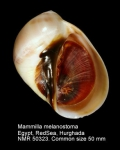 Mammilla melanostoma