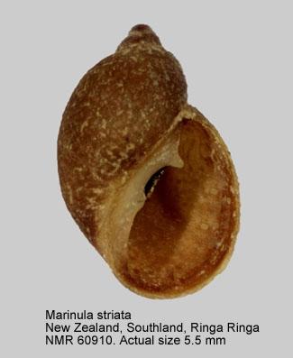 Marinula striata