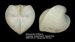 Meiocardia moltkiana