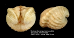 Meiocardia sanguineomaculata
