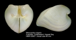 Meiocardia vulgaris