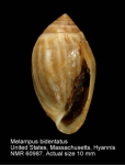 Melampus bidentatus