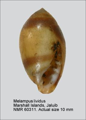 Melampus lividus
