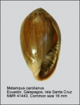 Melampus carolianus