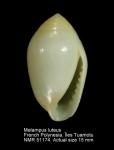 Ellobiidae