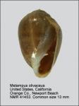 Melampus olivaceus