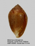 Melampus tabogensis