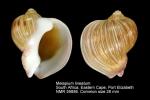 Melapium lineatum