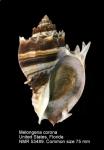 Melongenidae