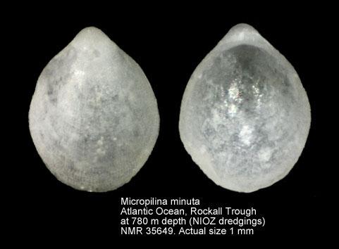 Micropilina minuta