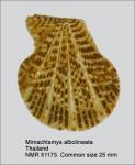 Mimachlamys albolineata