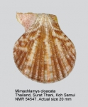 Mimachlamys cloacata