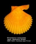 Mimachlamys crassicostata
