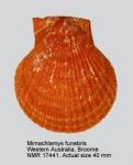 Mimachlamys funebris