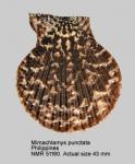 Mimachlamys lentiginosa