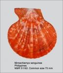 Mimachlamys sanguinea