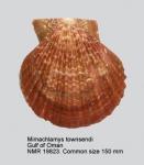 Mimachlamys townsendi
