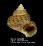 Minolia punctata