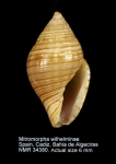 Mitromorpha wilhelminae