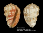Morum oniscus