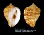 Morum praeclarum