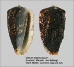 Morum tuberculosum