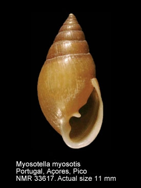 Myosotella myosotis