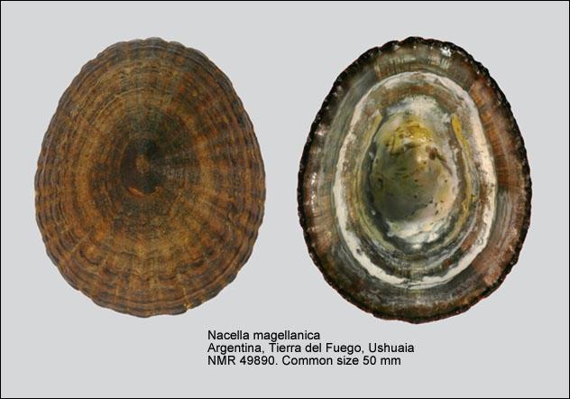 Nacella magellanica