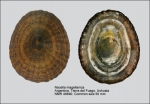 Nacellidae