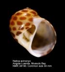 Natica acynonyx