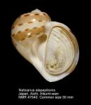 Naticarius alapapilionis