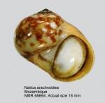 Natica arachnoidea