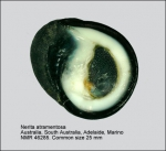 Nerita atramentosa